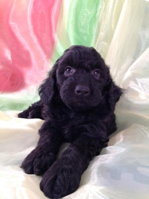 All Black Female Mini Goldendoodle Puppy for Sale DOB 9-7-15 5