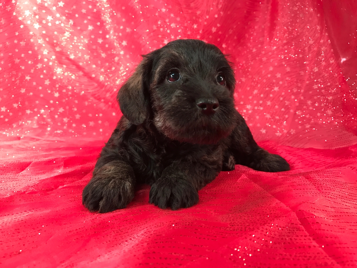 Black Breeders schnoodle