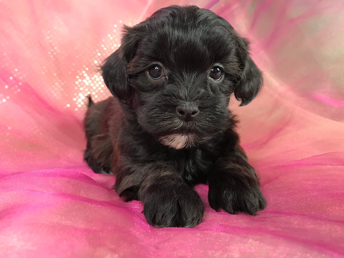 Shih tzu Poodle Puppy for Sale Iowa 50446 DOB 10-10-2018