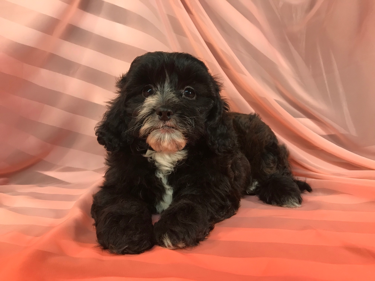 Black Male Poodle Shih Tzu Puppy for Sale