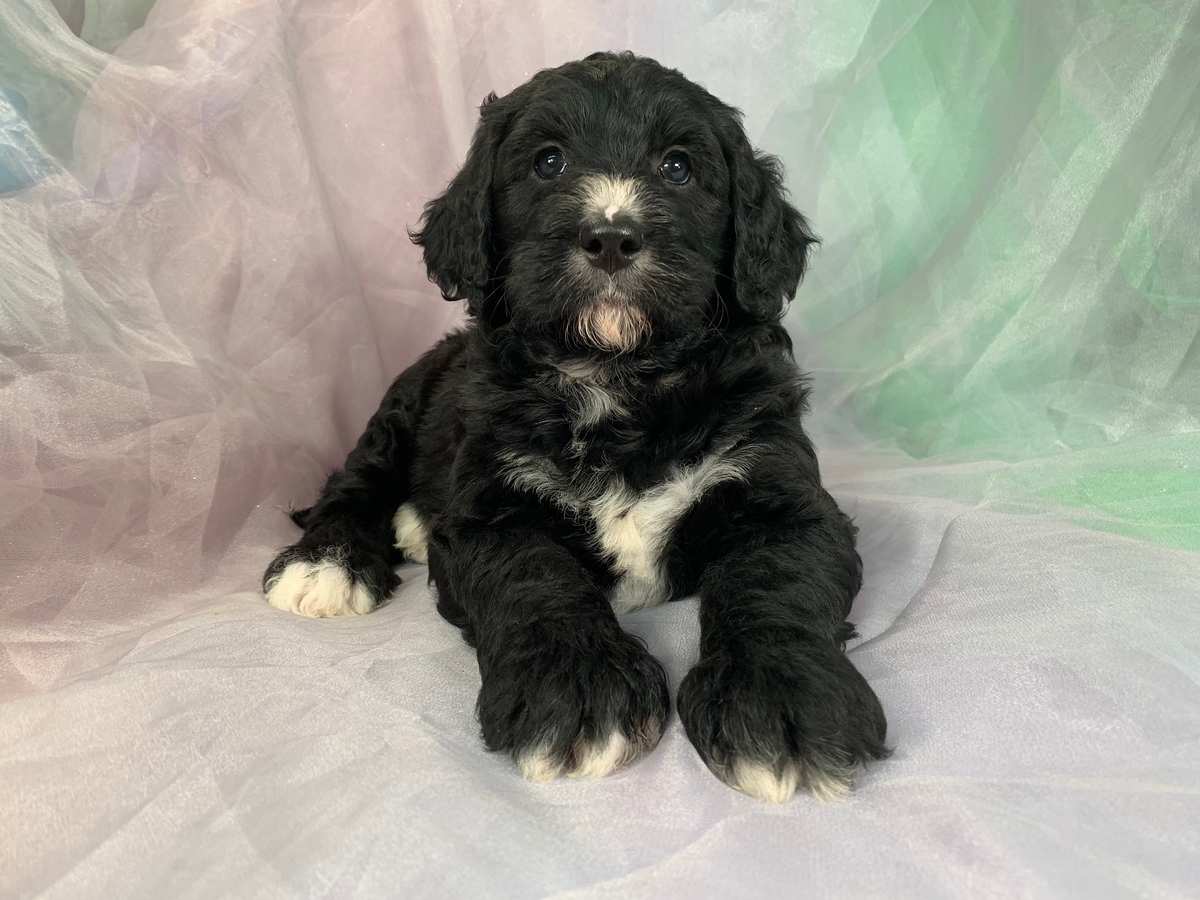 Black and White Bernedoodle Puppy for Sale $1500 DOB 8-23-2019, Iowa