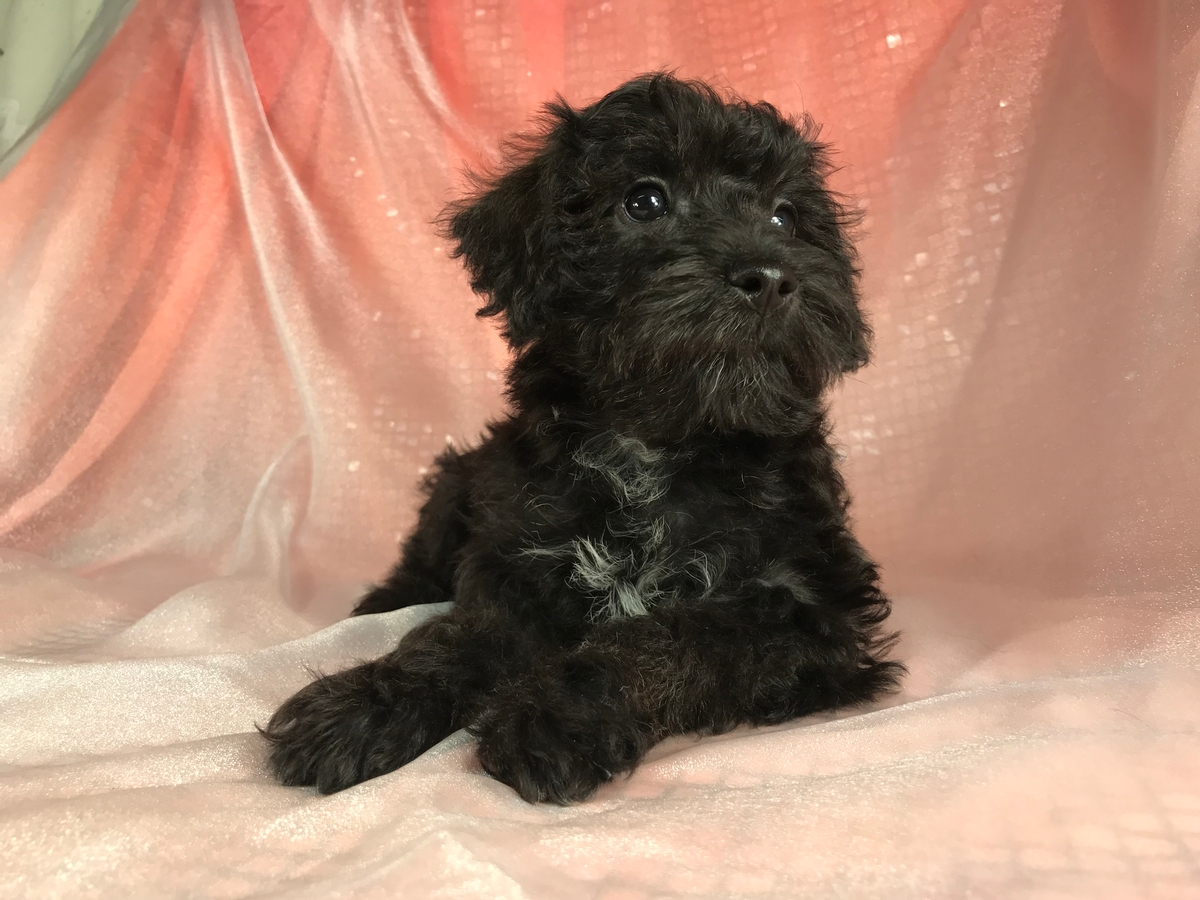 Female Schnoodle Puppy for Sale