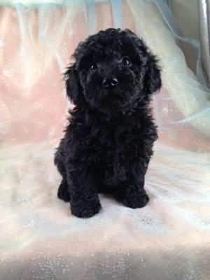 Female Black Schnoodle Puppy for sale #5 DOB 8-22-2013|Iowa Breeders with Puppies for sale