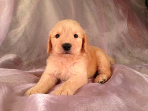 Male Goldendoodle Puppy for sale #11 Born April 10th, 2013|Goldendoodles Puppies by Professional Goldendoodle Breeders