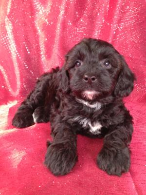 Male Schnoodle Puppy for sale #7 Born March 29th 2013|Schnoodle Breeders along the Iowa Minnesota Border