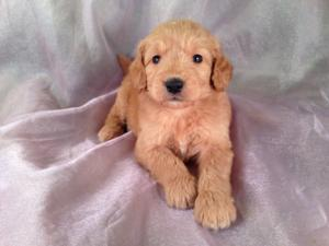 Female Goldendoodle Puppy for sale #15 Born April 10th, 2013|Goldendoodles Puppies by Professional Goldendoodle Breeders