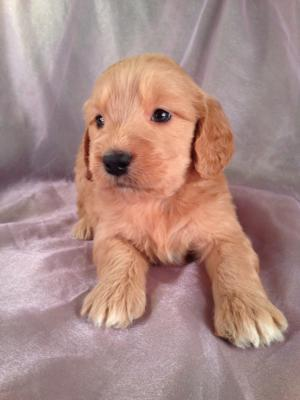 Female Goldendoodle Puppy for sale #16 Born April 10th, 2013|Goldendoodles Puppies by Professional Goldendoodle Breeders