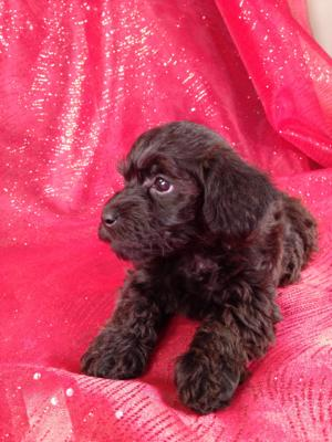 Female Schnoodle #8|Schnoodle Breeders in New Jersey and Massachusetts would like to know how we can ship our Schnoodles for only $150!