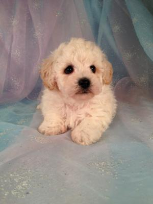 Male bichon Poodle Puppies for sale in Iowa|Bichon Poo #7 Born March 25th 2013