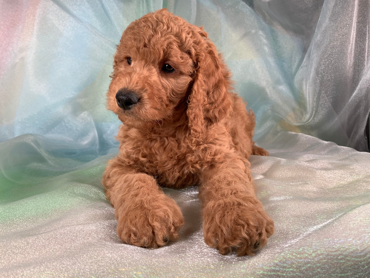 Red Male F1b Miniature Goldendoodle Puppy for Sale DOB 11-8-2019 $1500
