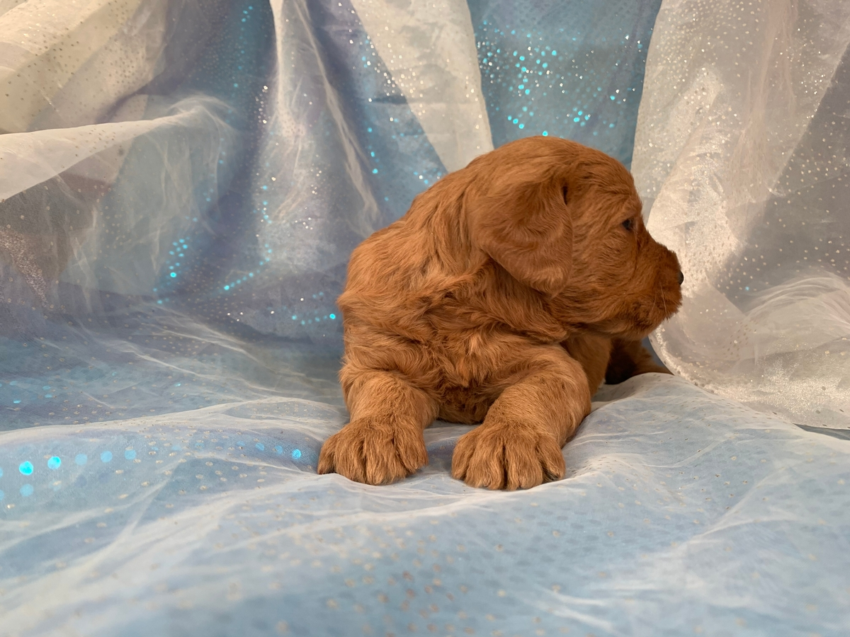 Dark red F1b Female labradoodles
