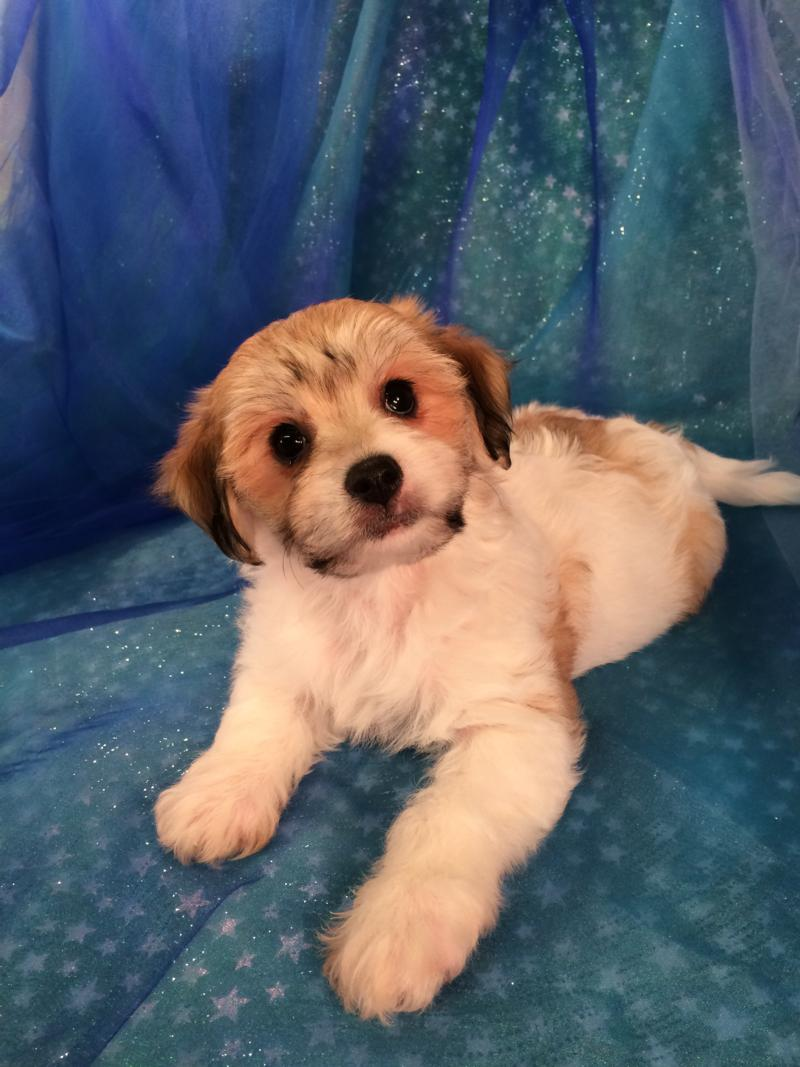 For Sale!  Sable and White Cavachon Puppy for sale $875 DOB 9-10-2016 Ready Now!