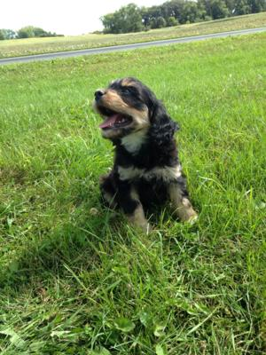 Iowa Cavachons for sale! Puppies Ready Now! Professionally bred Litter! $675 each