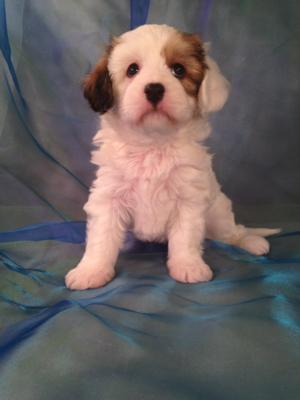 Male Cavachon Puppy for sale #6 Born Jan. 30th, 2015 Looking for Cavachon Breeders in Illinois, Iowa, Minnesota, or Wisconsin? Purebred Pups is Located North Central Iowa!