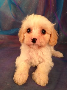 Cavachons for sale at lower prices than Most cavachon Breeders in RI
