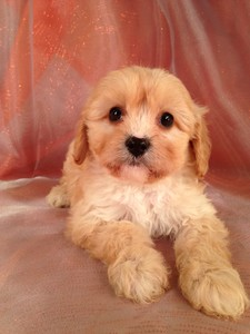 Male Tan Cavachon Puppy for sale #3|Many Cavachon Breeders in Florida with Cavachon Puppies for sale ask more for their puppies