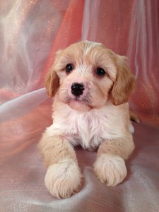 Male Cavachon Puppy for sale #4|Cavachons for sale at Lower Prices than Most Cavachon Breeders in North Carolina