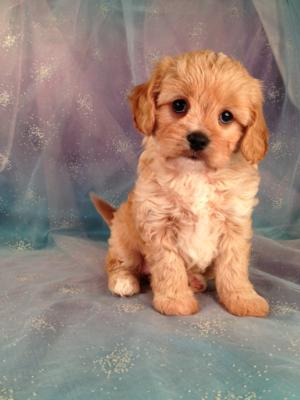 Female Cavachon Puppy #1 Cavachons for sale by a professional dog Breeder|Airline tickets only $150 for your new pup!