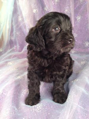 Male Cavachon Pup for sale #2 Ready June 2013, Black Male Born 4-20-13/airline tickets only $150 into Boston, Newark, Raleigh, DC, and many more!
