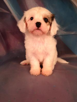 Female Cavachon Puppy for sale #1 Born August 4, 2013|Puppies for sale can go home soon
