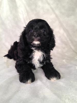 Black and White Male Cavachon Puppy for Sale in North Central Iowa.  Ready Now!  The Best Cavachons can be found at Purebredpups!