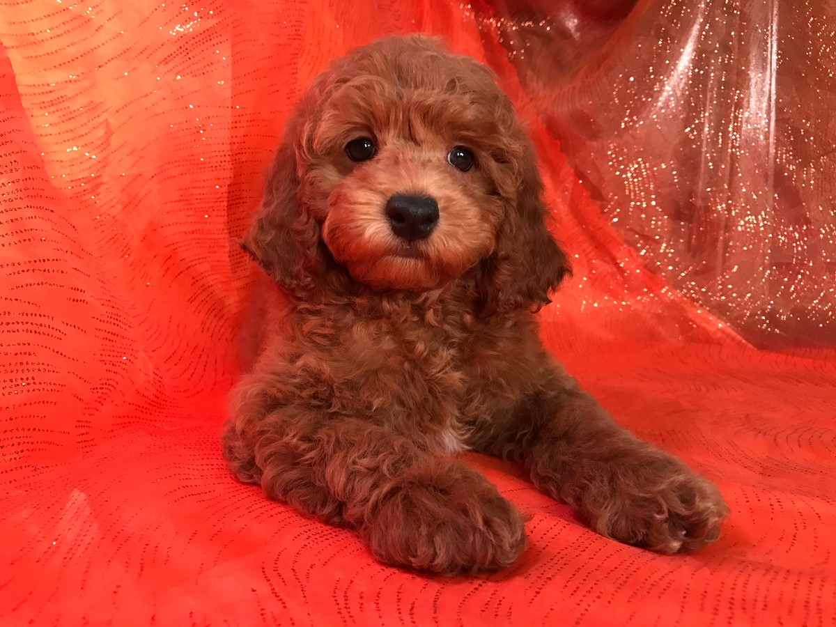 Iowa Cockapoo Breeders