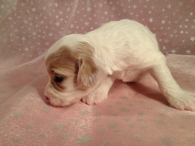 Female Cockapoo Puppy for sale #15 Ready November 13, 2012 4