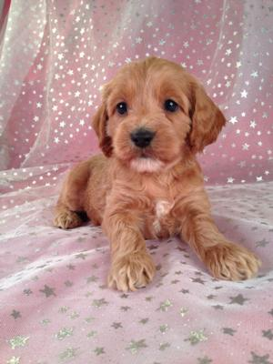 Female Cockapoo Puppy for sale #4 DOB 7/6/13 Ready Soon!   2