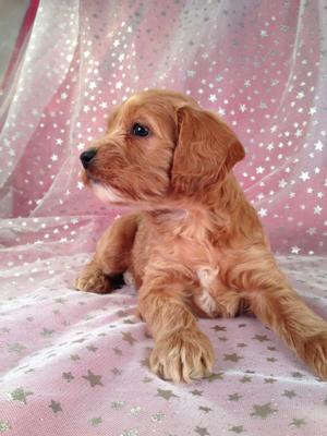 Female Cockapoo Puppy for sale #4 DOB 7/6/13 Ready Soon!   3