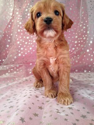 Female Cockapoo Puppy for sale #4 DOB 7/6/13 Ready Soon!   4