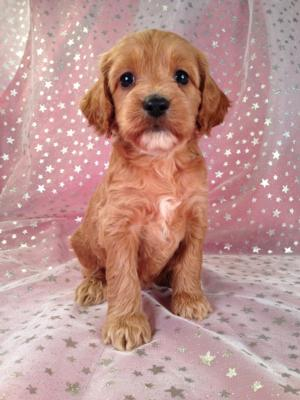 Female Cockapoo Puppy for sale #4 DOB 7/6/13 Ready Soon!   5