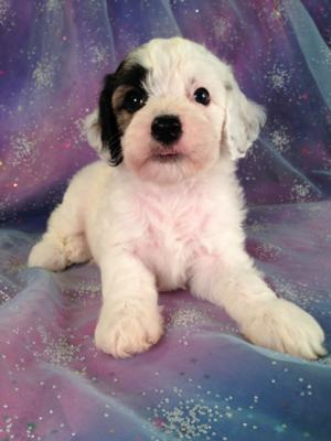 Where Can I Buy A Cockapoo Dog In Wisconsin