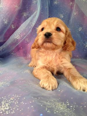 Male Cockapoo Puppy for sale #1 Born 9-14-13  Cockapoo Breeder in Iowa located for easy pickup. Wisconsin, Illinois, and Minnesota are welcome to Pickup here!
