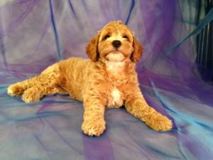 Red Female Cockapoo Puppy with White Markings for Sale in North Iowa $875 4