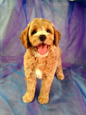 Red Female Cockapoo Puppy with White Markings for Sale in North Iowa $875 5