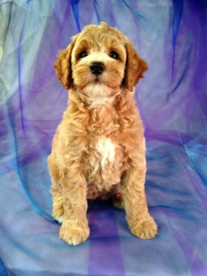Red Female Cockapoo Puppy with White Markings for Sale in North Iowa $875 2