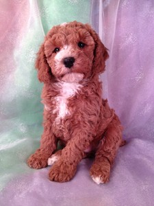 Dark Red Male puppy for sale|Cockapoo Puppy #22 Ready Soon|Shipping $150 out of Minneapolis, Minnesota