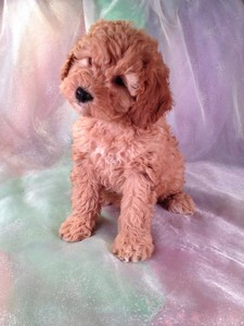 Red Female Cockapoo Ready 1/12/13. Cockapoo Puppy for Sale #23 |Cockapoo Breeders 2012 2