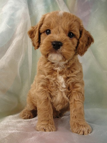 Male Cockapoo Puppy for Sale #18 Born July 5, 2011 2