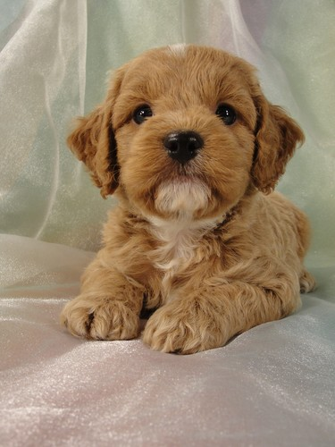 Male Cockapoo Puppy for Sale #18 Born July 5, 2011 4