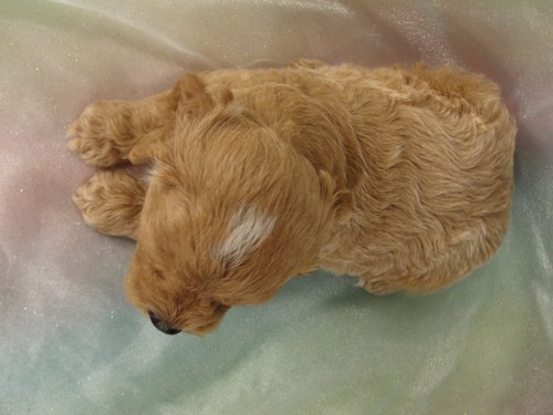 Male Cockapoo Puppy for Sale #18 Born July 5, 2011 6