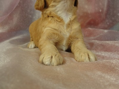 Cockapoos, Female, Apricot, big sale, $675, Iowa Breeder 2012 2