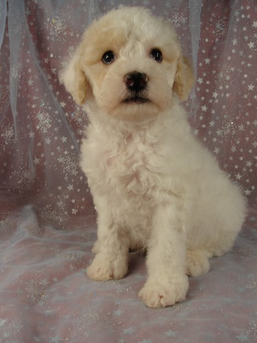 Male Cockapoo Puppy for Sale #25 Born August 10, 2011 2