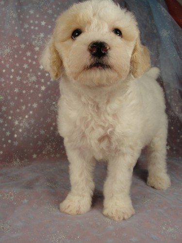 Male Cockapoo Puppy for Sale #25 Born August 10, 2011 3