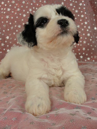 Male Cockapoo Puppy for Sale #24 Born August 10, 2011 6