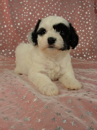 Male Cockapoo Puppy for Sale #24 Born August 10, 2011 2