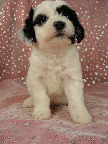 Male Cockapoo Puppy for Sale #24 Born August 10, 2011