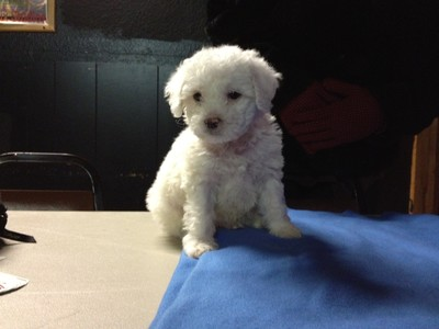 Male white Cockapoo Puppy for sale #21 Ready By Christmas 2012 Born October 1, 2012 2