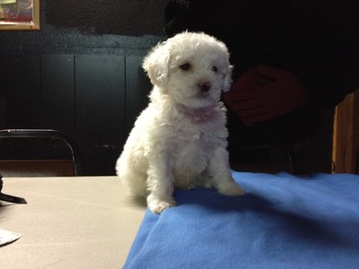 Male white Cockapoo Puppy for sale #21 Ready By Christmas 2012 Born October 1, 2012 3