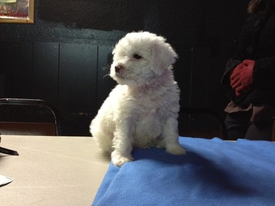 Male white Cockapoo Puppy for sale #21 Ready By Christmas 2012 Born October 1, 2012 4